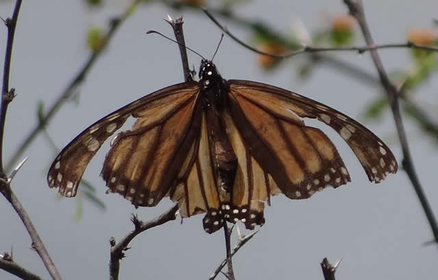 Monarch Butterfly in Texas, March 2012