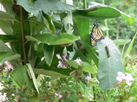 Monarch butterfly caterpillars, chrysalis and adult