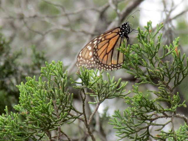 Monarch Butterfly Migration Update | Journey North News