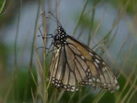 Monarch Butterfly in Texas with faded wings