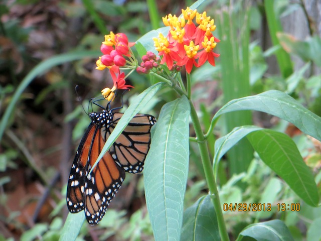Monarch butterfly in Florida