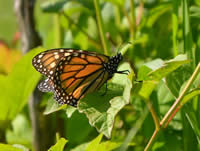 Monarch Butterfly in Iowa