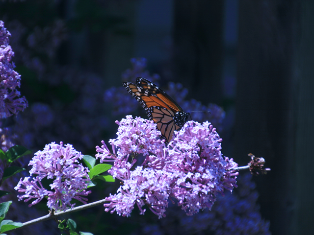 Monarch butterfly in Tamaulipas
