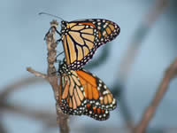Monarch butterfllies roosting in South Dakota