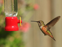 Immature male Rufous feeding from Turk's Cap, Hamelia, and feeder