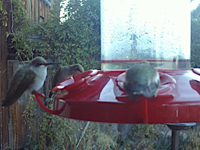 Cold hummingbirds with fluffed feathers