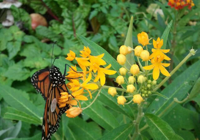 Tagged Monarch Butterfly Found