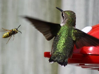 Bee nears a hmmingbird by feeder