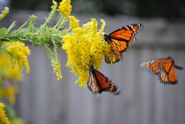 Monarch Butterflies nectaring in Iowa prairie