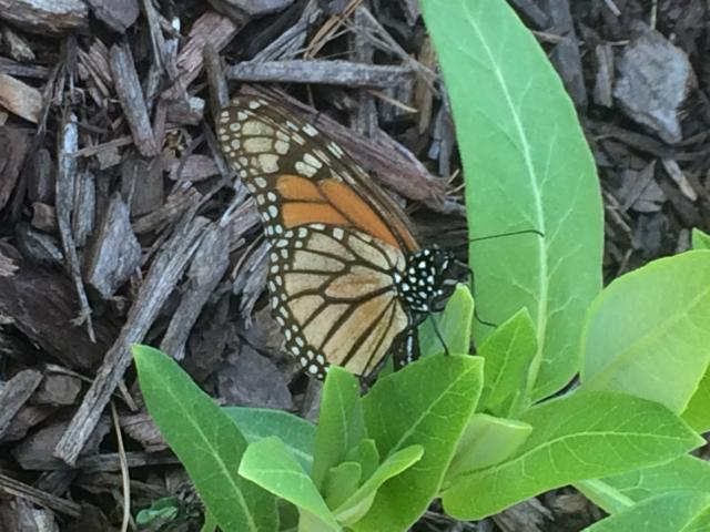 Early Egg-laying on Newly Emerged Milkweed