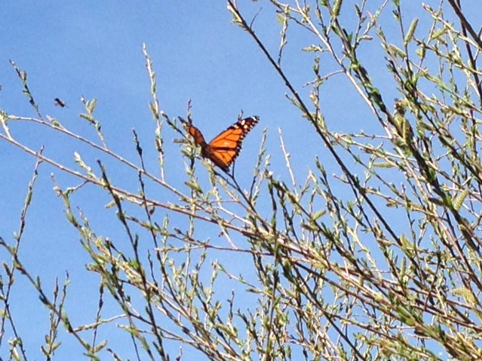Early Monarch Butterfly in Minnesota