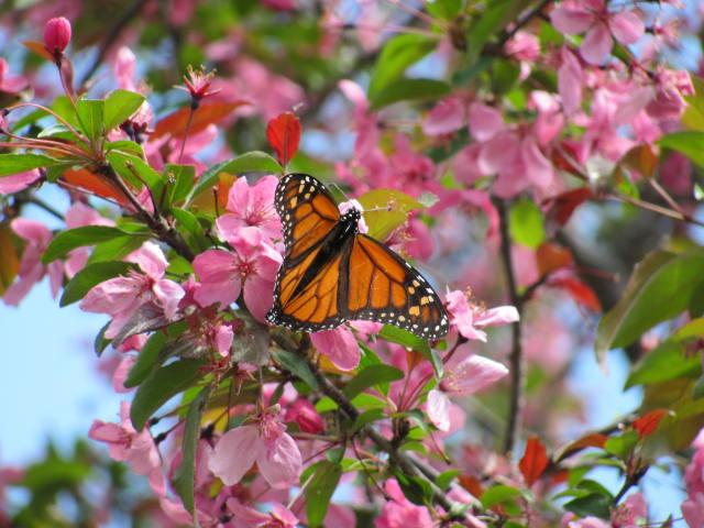 Monarch Butterfly Nectaring on Crab Apple Blossoms