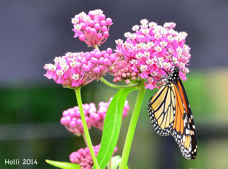 Monarch Butterfly Nectaring from Milkweed