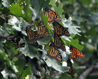 Monarch Butterfly Fall Migration Roost
