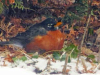 American Robin on ground in snow