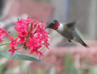 ruby hummer