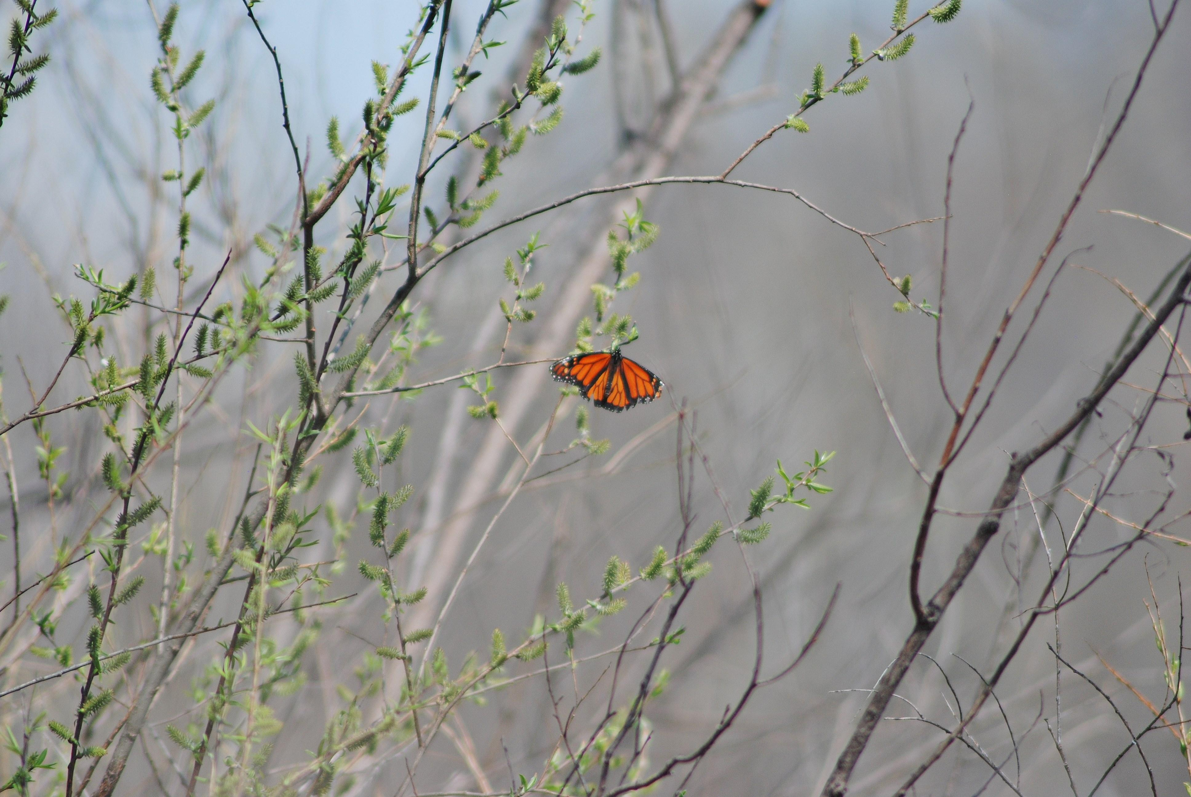Monarch Butterfly: Early Sighting in Minnesota