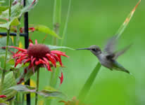 Hummingbird Feeding at Flower