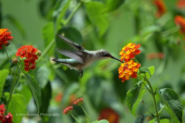 Hummingbirds at flower