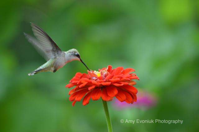 Hummingbird Migration in Texas
