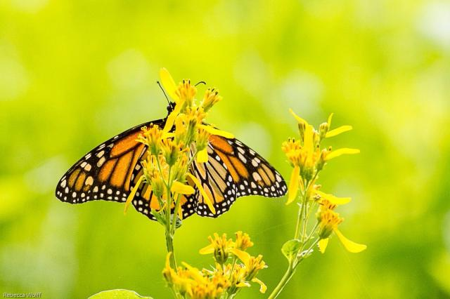 Monarch butterfly nectaring on goldenrod