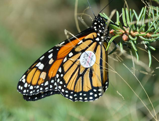 Monarch Butterfly Tag Found