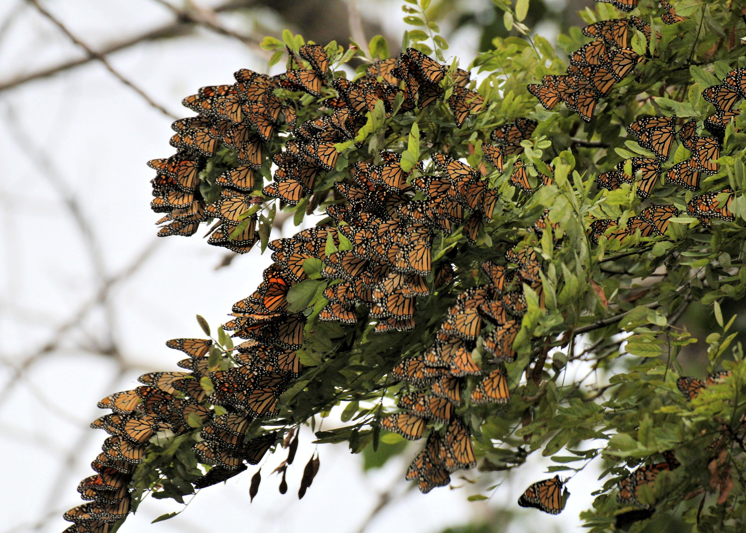 Monarch Butterfly Migration: The Overnight Roost
