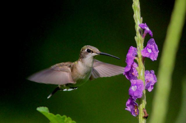 Hummingbird in Minnesota