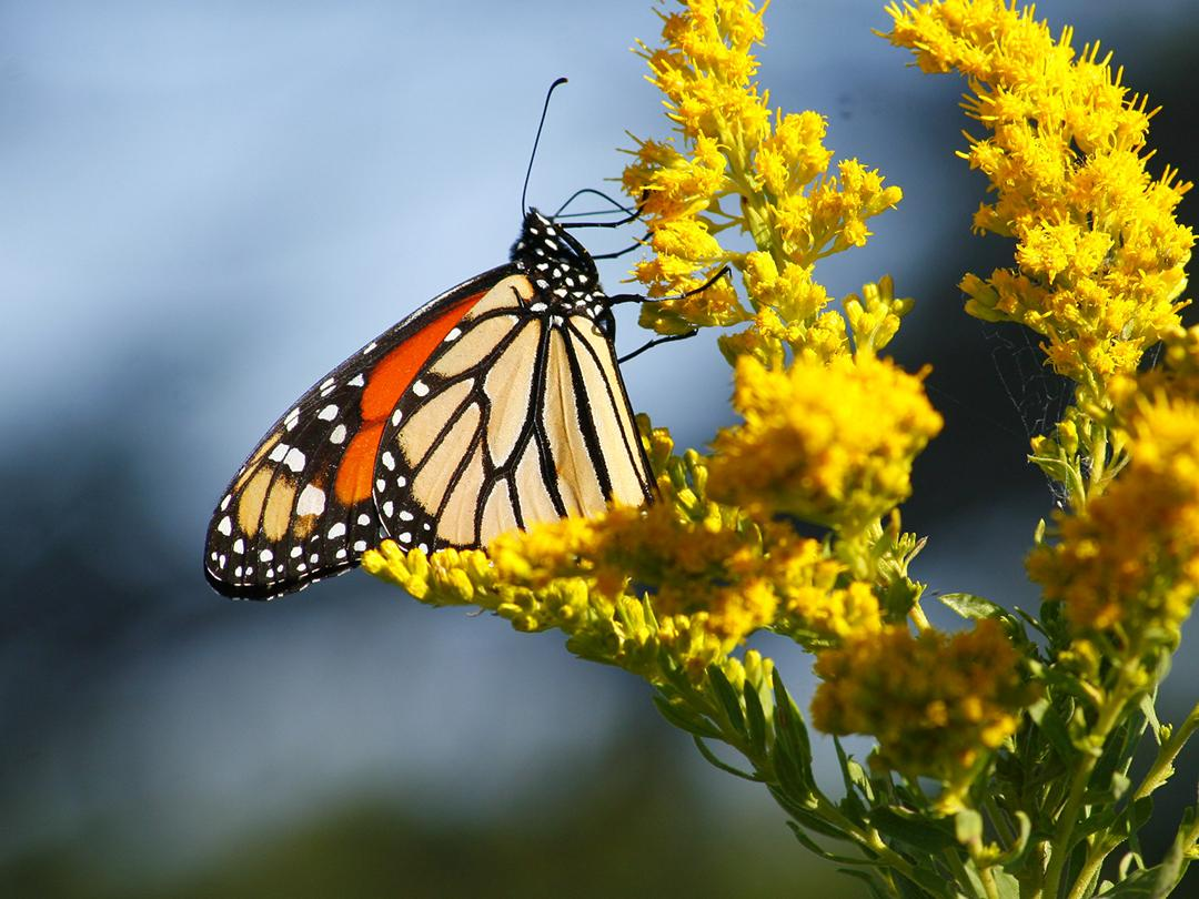 Monarch Butterflies nectaring in an Iowa prairie