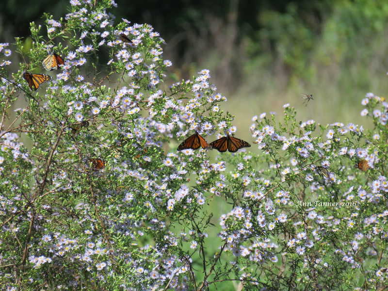Monarch Butterfly Migration in Central Flyway, Kansas