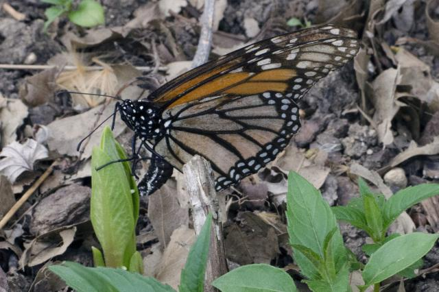 Monarch Butterfly Arriving Early in Ohio