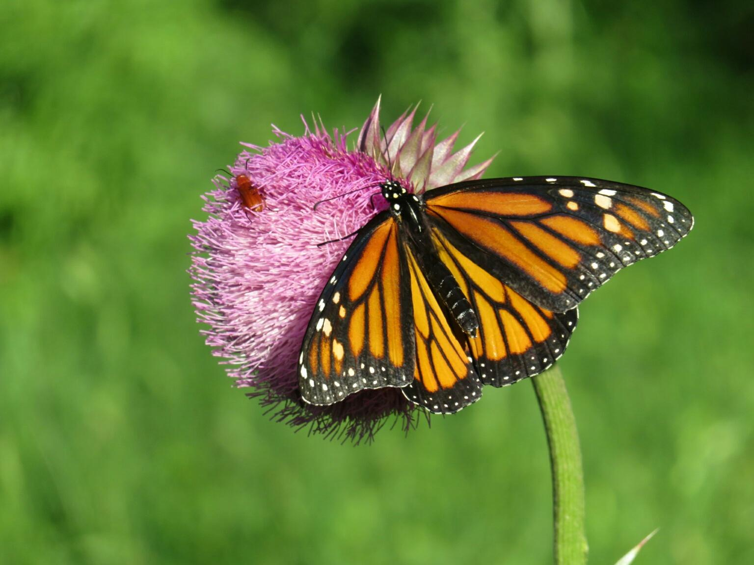 Monarch Butterfly in Texas of 1st Spring Generation