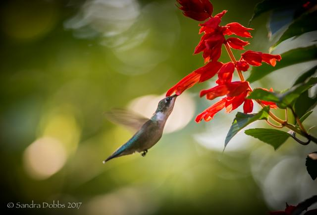 Journey North | Hummingbird