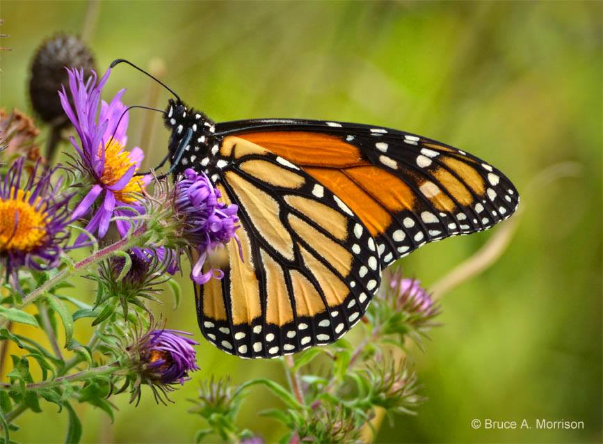 Monarch refueling on the Iowa prairie by Bruce Morrison