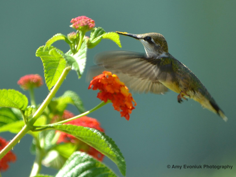 Photo of hummingbird with pollen on its bill