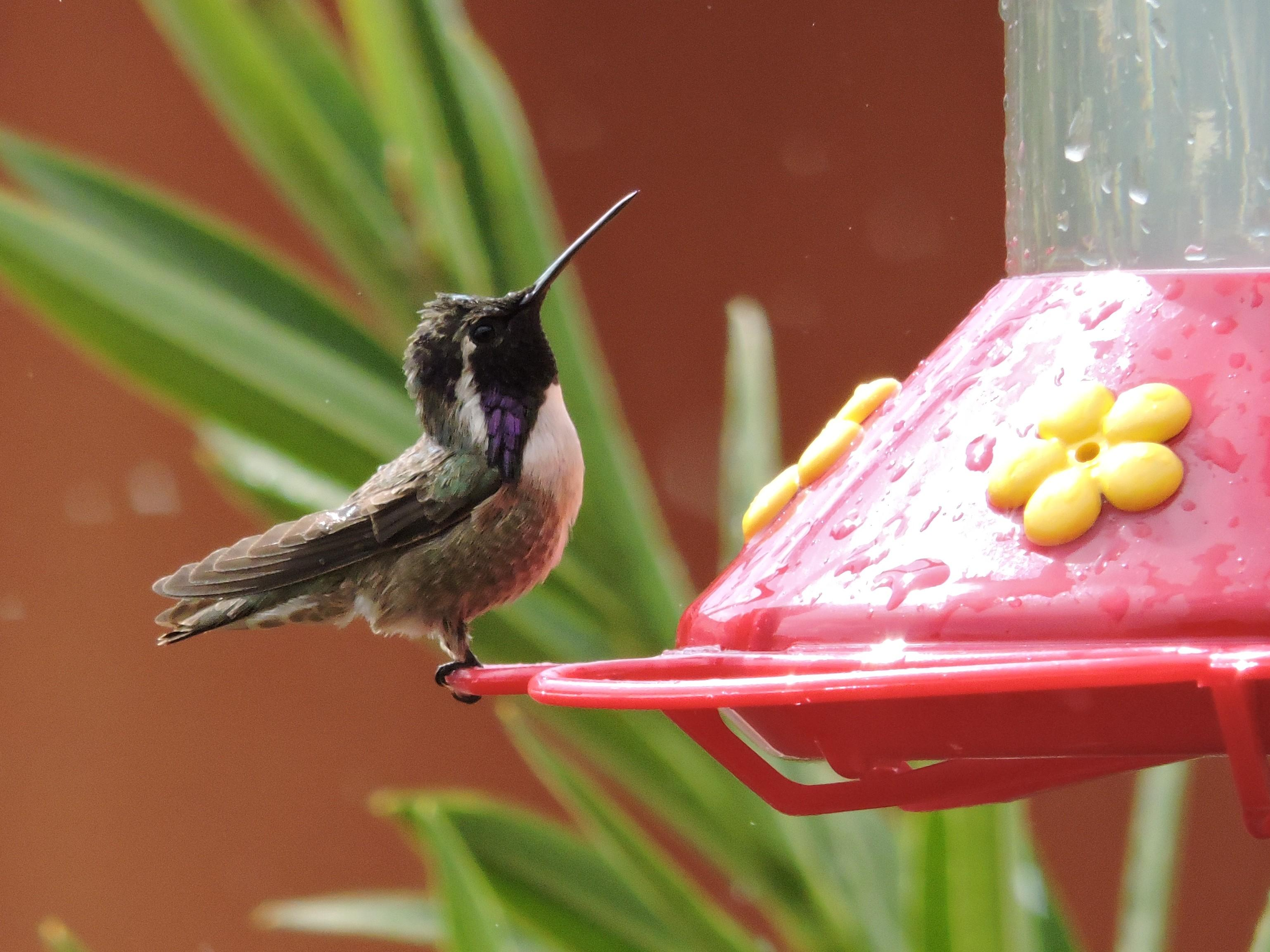 Photo of a male Costa's hummingbird at the feeder
