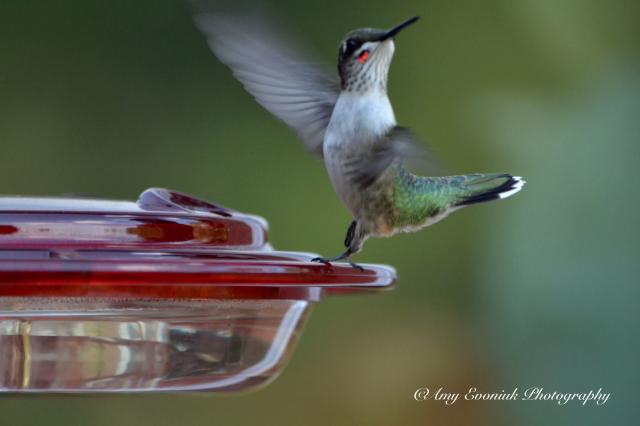 Photo of juvenile male ruby-throated hummingbird