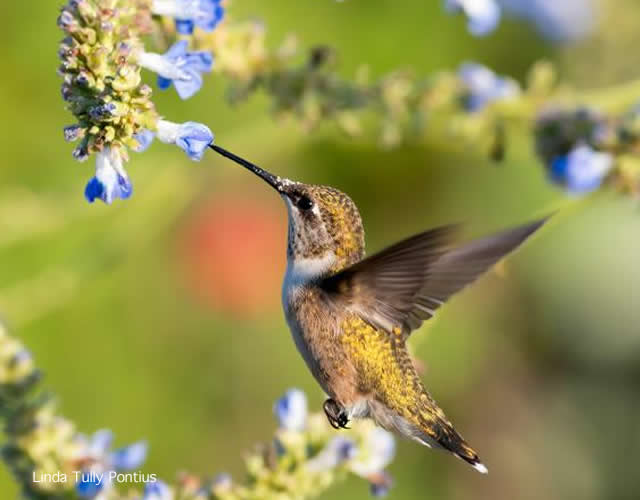 Photo of hummingbird hovering at blooms