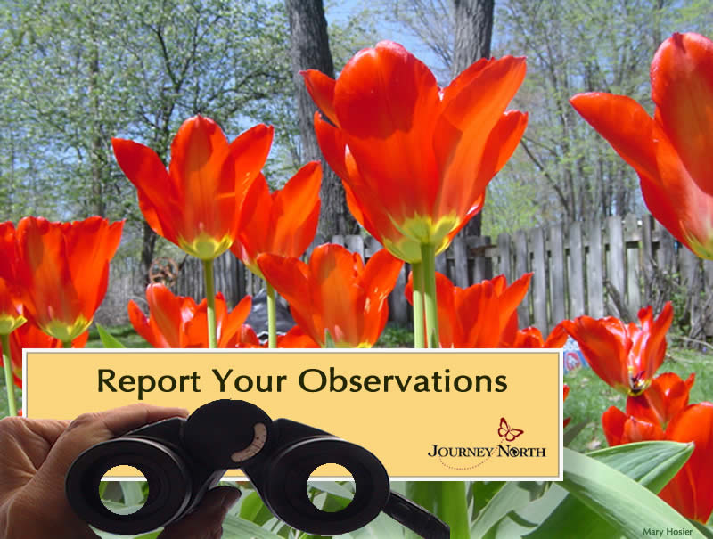 Report Your Tulip Observations