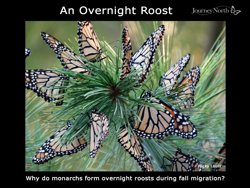 Why Do Monarch Butterflies Form Overnight Roosts? (Journal)
