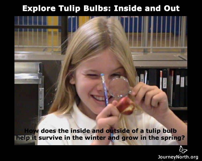 How does the inside and outside of a tulip bulb help it survive in the winter and grow in the spring?