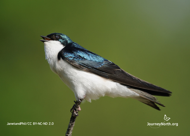 Tree Swallow by JanetandPhil (CC BY NC ND 2.0)