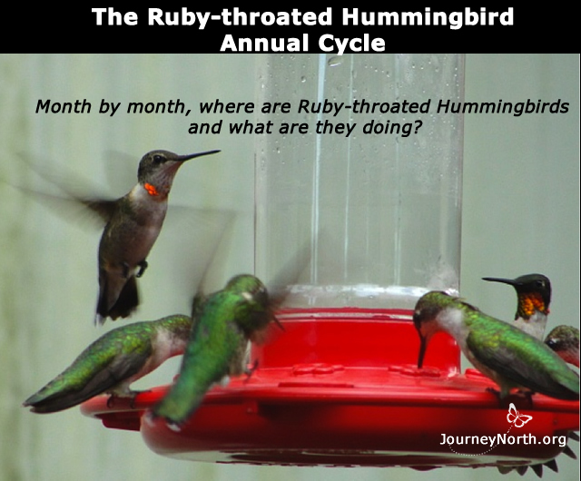 Month by month what are Ruby-throats doing?