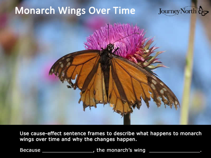 Monarch Wings Over Time