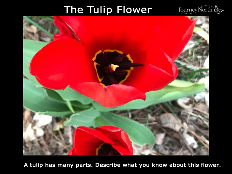 The Tulip Flower