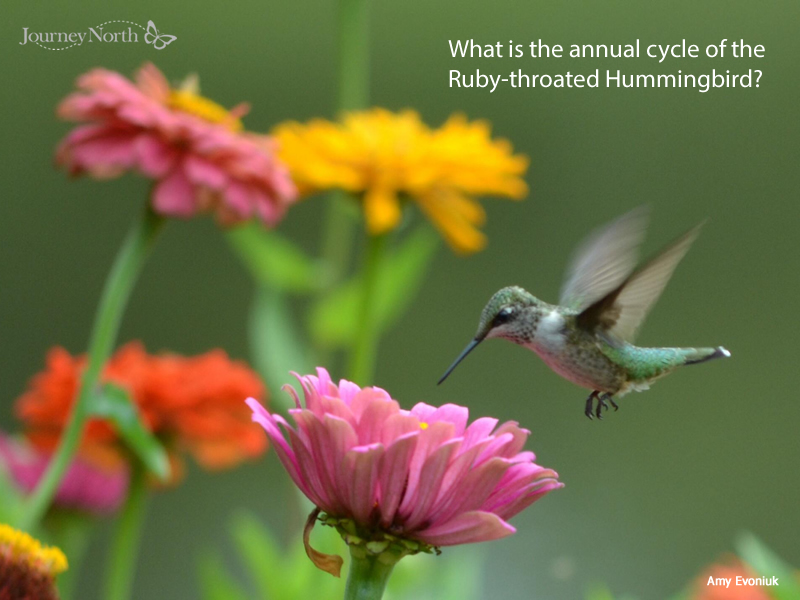 Hummingbird Annual Cycle