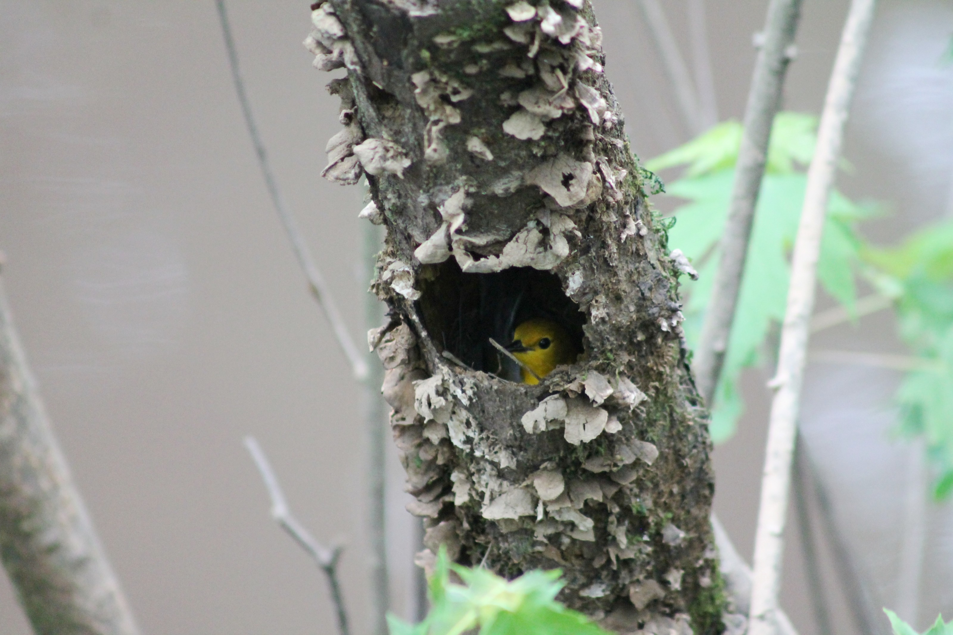 Prothonotary Warbler nest