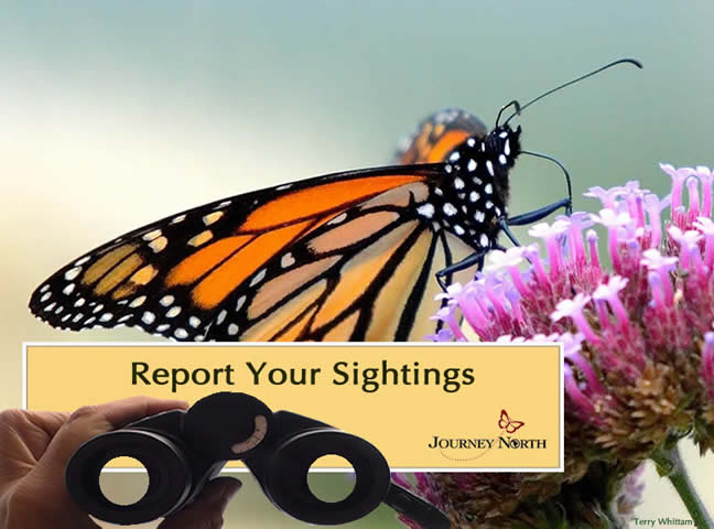 Report Your Monarch Butterfly Sightings