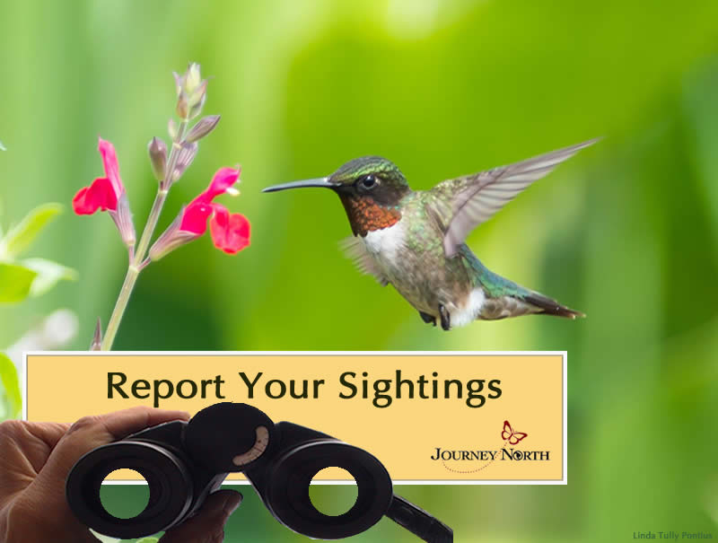 Image of hummingbird and text saying to report your sightings
