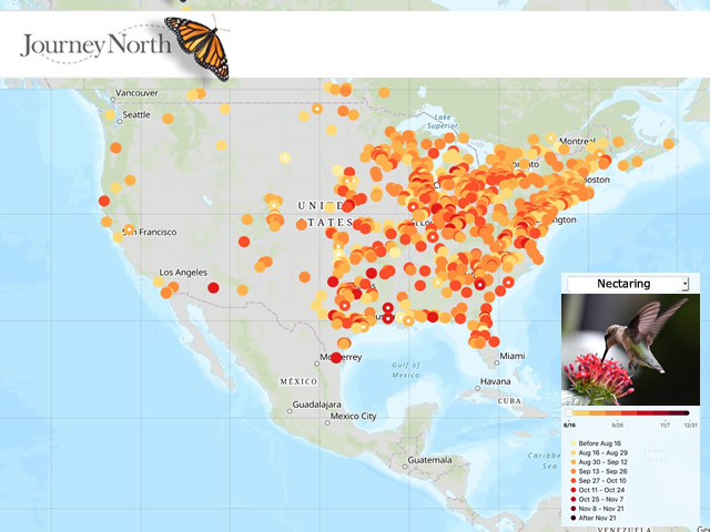 Hummingbird Map Fall 2020 Nectaring from Flowers